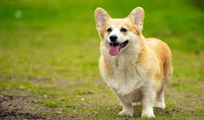 The Queens Corgis 7 Things You Didn U0027t Know About The Royal Corgis From