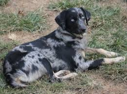 australian shepherd cattle dog mix 7 best dogs australian cattle dog images on pinterest australian