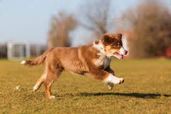 running with australian shepherd puppy australian shepherd puppy on the meadow stock photo image 87553441