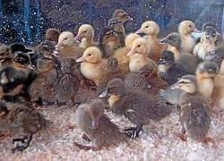 animali da cortile in centro abitato rassegnasta140611