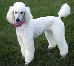 pictures of poodle haircuts haircuts for toy poodle