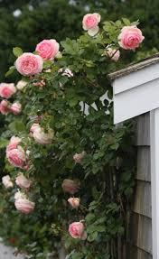 60 best clinging vines images on pinterest flowers gardening