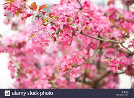 malus red apple tree macro flowering twigs in spring season in