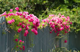 pink roses climbing on the wooden fence stock photo picture and