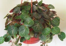 how to grow strawberry begonias care houseplant 411 how to