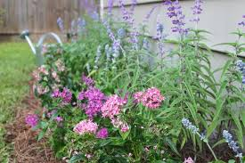 Salvia Flower Planting Salvia Perennials In A Flower Bed Checking In With Chelsea