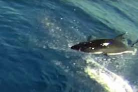 watch great white shark leaps into the air off mexico u0027s coast