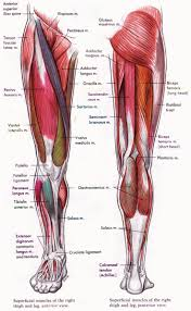 best 25 muscular system ideas on pinterest human muscular