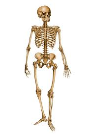 best 25 human skeleton images ideas on pinterest human skeleton