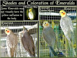 emerald just cockatiels
