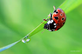 ladybug full hd quality images ladybug wallpaper for computer