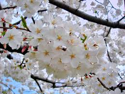 a photo gallery of flowering dogwood blooms in