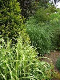 zebra grass miscanthus sinensis strictus zebrinus deer