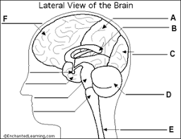 Gross Anatomy Of The Brain And Cranial Nerves Worksheet Quiz Brain Anatomy