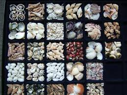 Where To Buy Seashells Eaton U0027s Seashells Ltd Small U0026 Miniature Shells
