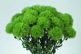 green dianthus flowers and fillers flowers by category