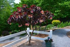 Patio Fruit Trees Uk by Leaf Patio Peach Tree Amazing Red Leaved Fruiting Peach