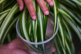 how to clean your indoor houseplants 6 steps with pictures