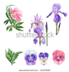 watercolor collection purple lilac flowers leaves stock