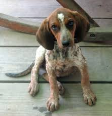 bluetick coonhound mix puppies 186 best coon hunting images on pinterest hunting hound dog and
