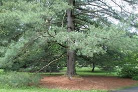 god is a pine tree what you talking bout