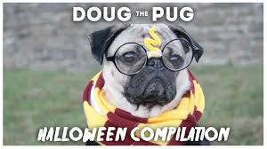funny thanksgiving dog pictures doug the pug halloween compilation youtube