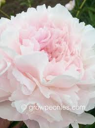 Peonies Flower Minnesota Grown Peonies For Sale Countryside Gardens Peony Farm
