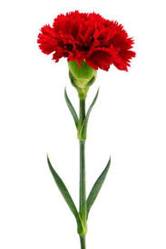 carnation flower tattoo ways to grow carnation or dianthus