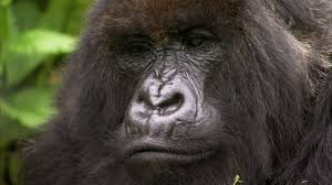 Gorilla by Silverback Showing Off To The Females Mountain Gorilla Bbc
