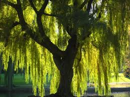 buy weeping willow trees the tree center