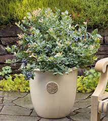 Shrubs For Patio Pots Berries In Containers