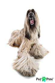 afghan hound therapy dog 36 best afghan hound adar images on pinterest afghan hound