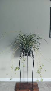 Spider Plant by 40 Best Spider Plant Images On Pinterest Spider Plants Plants