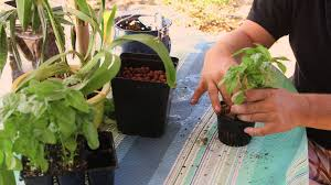 how to transplant from soil to hydroponics hydroponic gardening