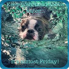 Almost Friday Meme - boston terrier meme it s almost friday bostonterrier