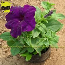 online buy wholesale morning glory vines from china morning glory
