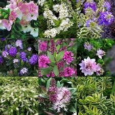Garden Hedges Types 8 Hebe Mixed Garden Plants Flowers Hedge Hardy Shrubs Wiri