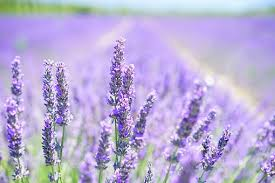 lavender flowers lavender flowers images pixabay free pictures