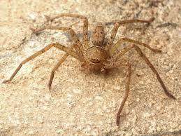 Brown Recluse Map How To Tell If A Spider Is Not A Brown Recluse Spiderbytes
