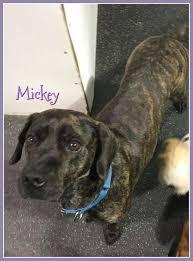 bluetick coonhound basset hound mix hound mix archives safe haven dog rescue