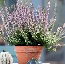 topfpflanzen balkon pflanzen die besten balkonpflanzen für den herbst welt