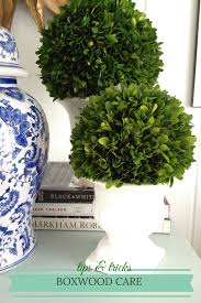 cottage and vine boxwood care