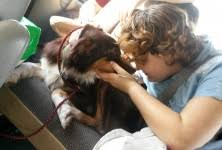 australian shepherd kills child claire bear rescued australian shepherd was shot at heartworm