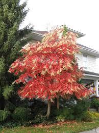 buy sourwood tree 12 99 get free shipping