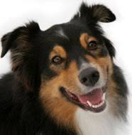australian shepherd upkeep australian shepherd pictures information training grooming and