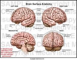 Surface Anatomy Eye Brain Anatomy Medical Illustration Medivisuals