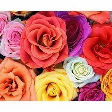 Multicolor Roses Dutch Roses Manufacturers Suppliers U0026 Dealers In Pune Maharashtra