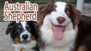australian shepherd rescue nc australian shepherd breed youtube