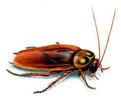Baby Roaches In Bathroom American Cockroach Identification U0026 Control Get Rid Of American