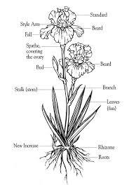 Drawings Of Flowers In A Vase Grow Bearded Iris Bearded Iris Care
